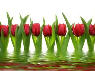 Close-up of row of colorful red tulips reflected in water