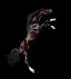 arabian stallion rears - isolated on black poster