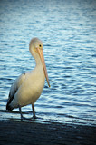 pelican stands at the waters edge at twilight poster