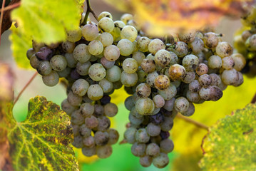 Manseng grapes are grown for Jurancon wine in France.