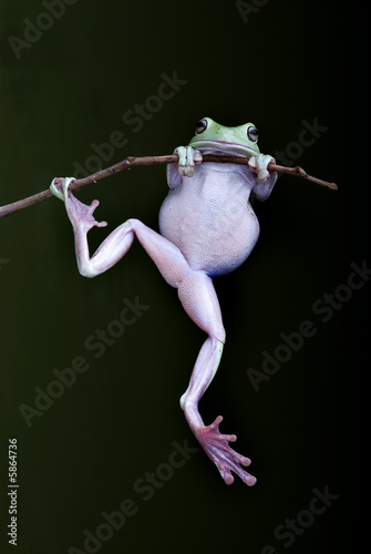 Green Tree-frog on a branch