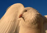 white dove, symbol of peace in the world poster