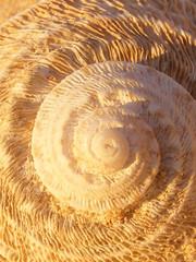 beige spiral shell