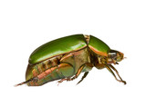 Macro image of a golden green Leaf Chafer Beetle. poster