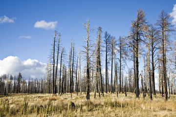 Forest Fire - Kaibab National Forest Arizona USA (AC)