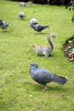 squirrel with pigeons in kensington gardens poster