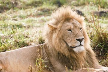 lion in the bush