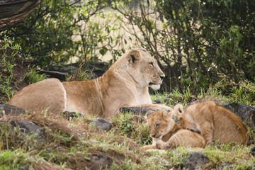 pride of lion in the masai mara reserve