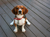 A tri-colored beagle dog posed sitting. poster