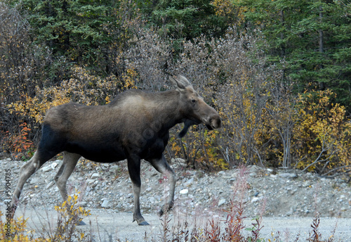 Cow Moose Strolliing Through Denali