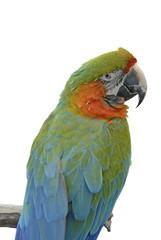 Macaw 01B