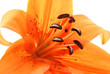 abstract close up  of orange lily on white background