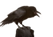 portrait of black raven on white background