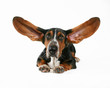 a basett hound with flapping ears
