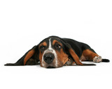 a bassett hound lying down on a white background poster