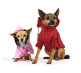 two small dogs dressed up in jackets - Fine Art prints