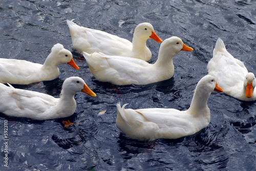 Flock of white ducks swimming in the pond