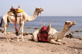Two saddled camels poster