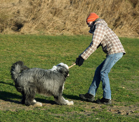 Dog, bearded collie, and girl having a great fight over  stick