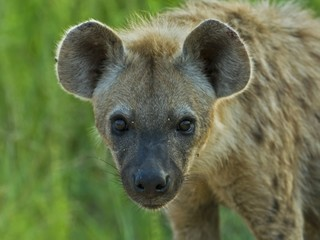 The Spotted Hyena is a dangerous Nocturnal Predator