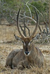 The Waterbuck id never far from Water
