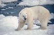 Large male polar bear on the shore of Hudson's Bay.