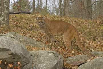 Cougar in the bush. Photographed in Northern Minnesota