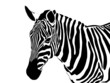 vector close up portrait of a zebra
