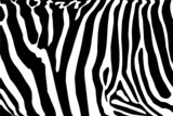 Fototapety vector - zebra texture Black and White