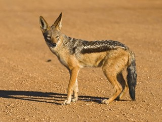 The Jackal is a very clever and cunning scavenger and predator