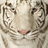 Fototapeta Carnivore - kot - Dziki Ssak