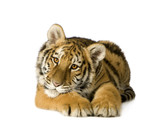 Tiger cub (5 months) poster