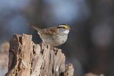 White-throated Sparrow (zonotrichia albicollis) on a stump poster