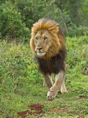 The African Lion is a Supreme Predator