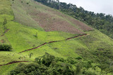Cattle graze on the rolling hillsides of Honduras poster