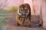 Fototapeta zoo - dziki - Dziki Ssak