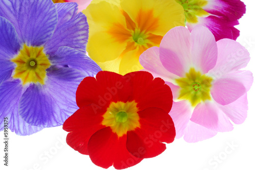 colorful frimula flowers - 5959375