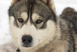 Close Up portrait of a Greenland Sledge Dog