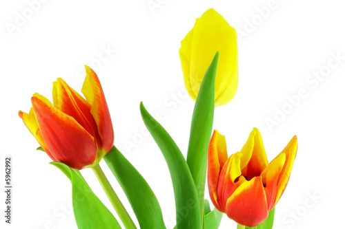 Colorful tulips isolated on a white background