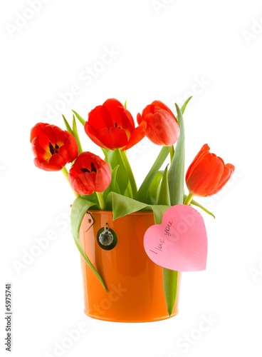Tulips in a bucket. Isolation on the white..