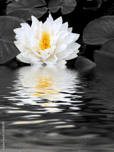 Fototapeta White Lily Beauty