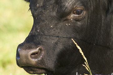 Close up of an Angus Bull