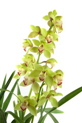 Green-yellow orchid