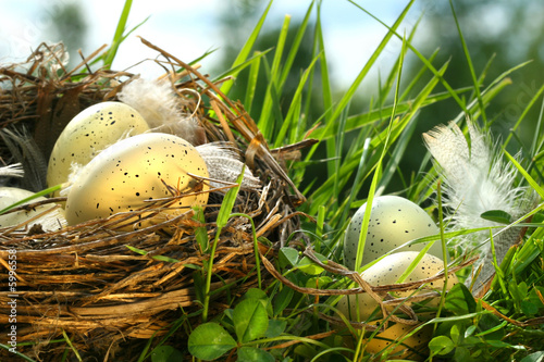 Nest in the grass with eggs and feathers