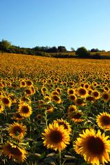 France-34. Canal-du-Medi. Fild of sunflovers