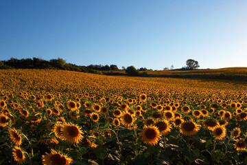 France-33. Canal-du-Medi. Fild of sunflovers