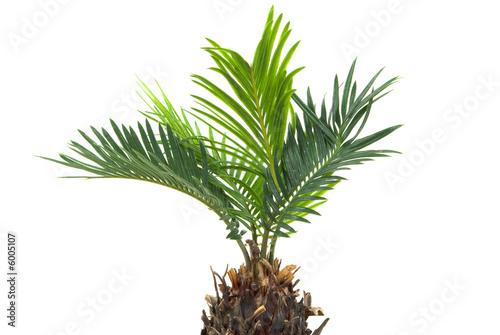 Fotobehang Palm boom Real dwarf palm tree