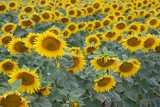 Endless field of sunflowers poster