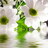 Daisy-gerbera reflected in the water
