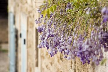 Maison provençale et glycines